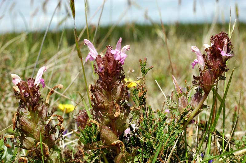 Foto/billede af Mose-Troldurt (Pedicularis sylvatica)
