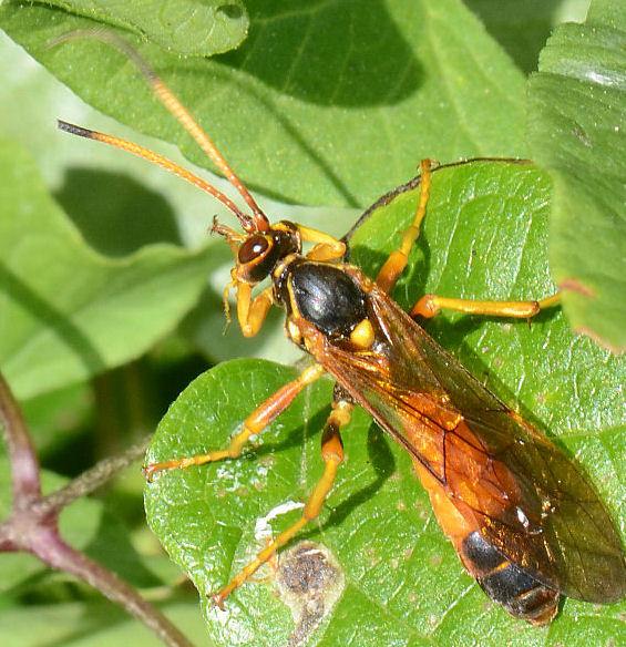 Callajoppa cirrogaster (Callajoppa cirrogaster)