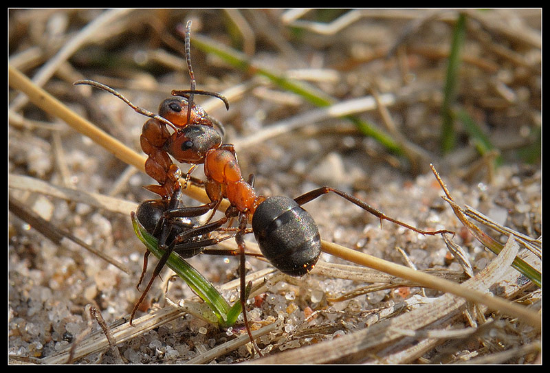 Foto/billede af Rød Skovmyre ubest. (Formica rufa/aquilonia/polyctena/pratensis)