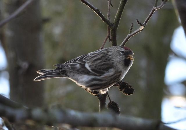 Stor Gråsisken (Carduelis flammea)