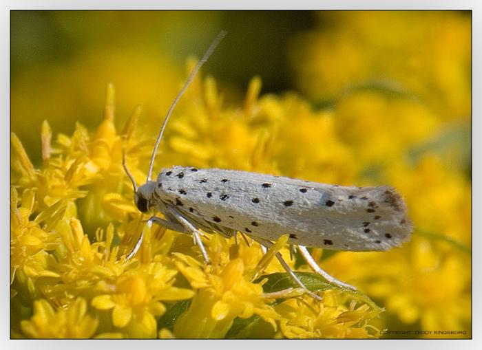 Foto/billede af Yponomeuta sp. (Yponomeuta sp.)