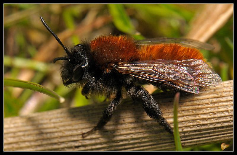 Foto/billede af Rødpelset jordbi (Andrena fulva)