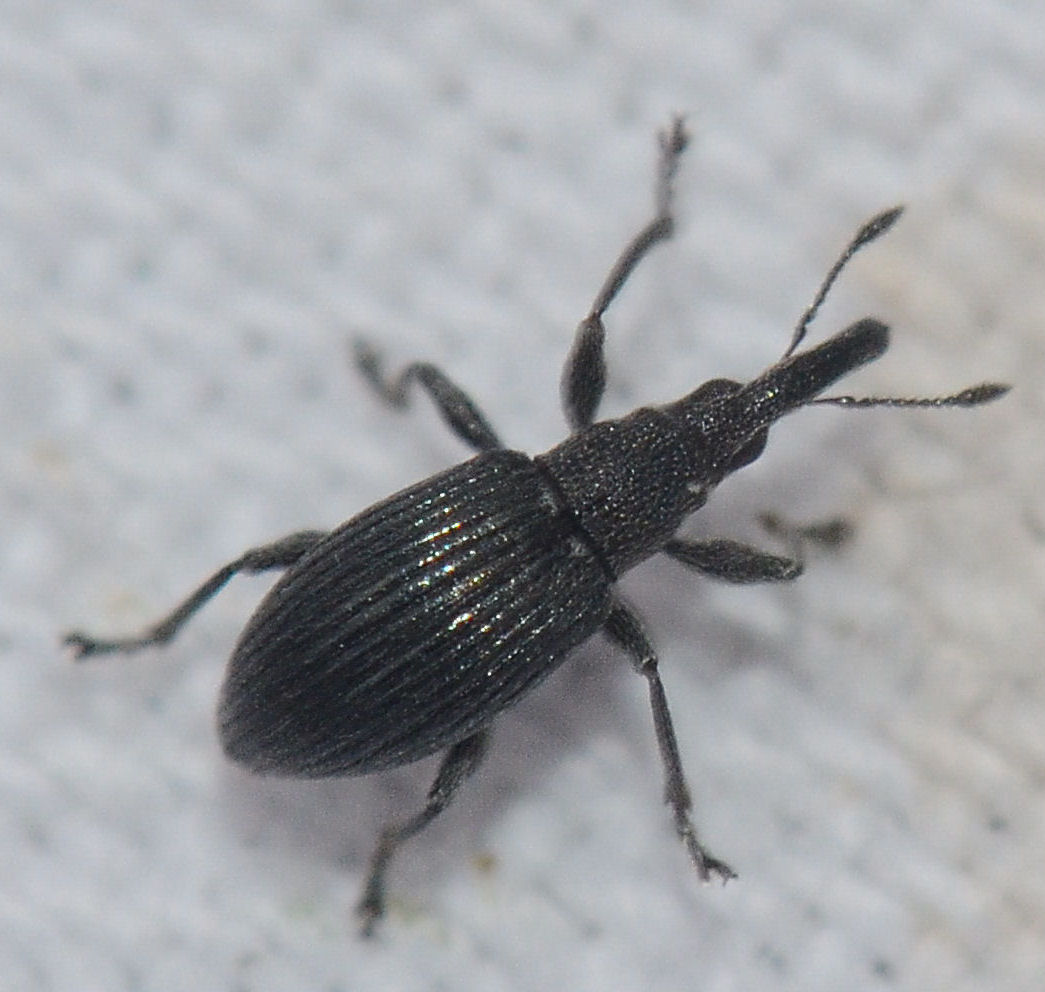 Apion radiolus (Apion radiolus)