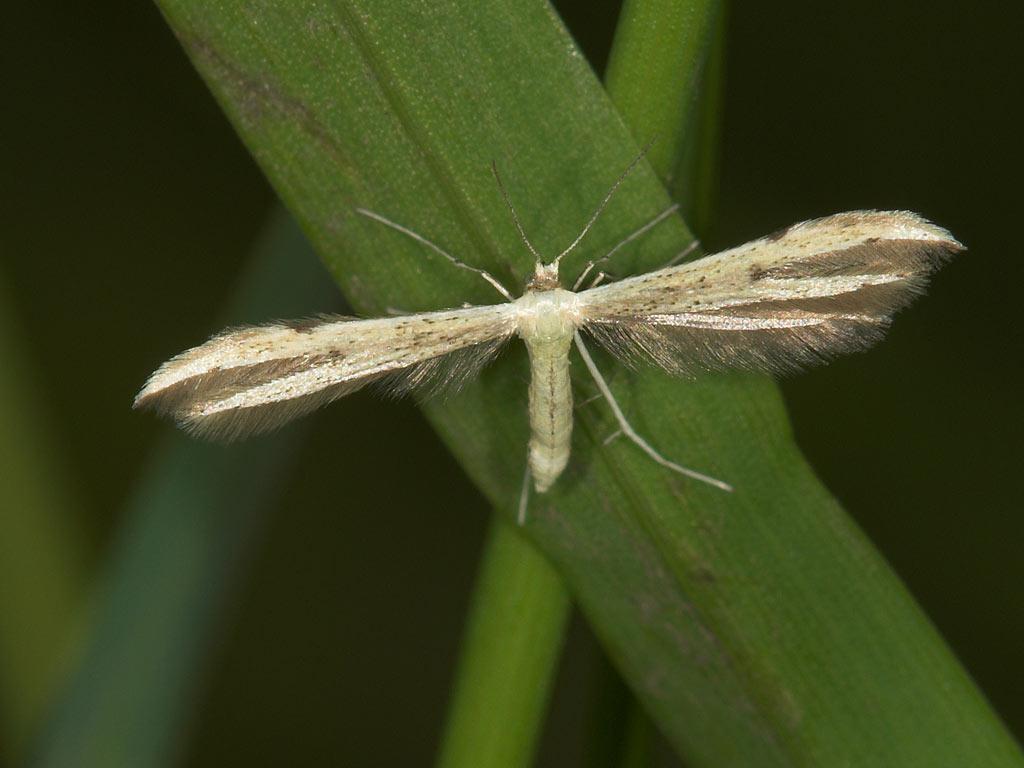 Foto/billede af Adaina microdactyla (Adaina microdactyla)