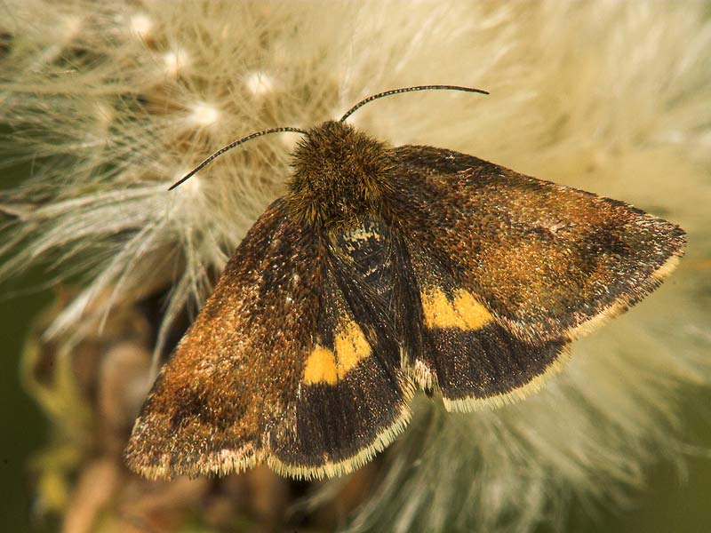 Foto/billede af Hønsetarm-Glansugle (Panemeria tenebrata)