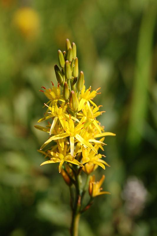 Benbræk (Narthecium ossifragum)