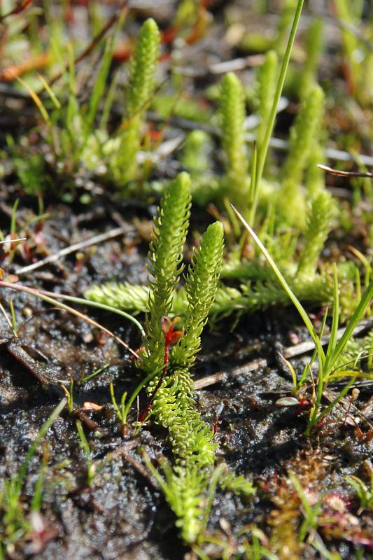 Foto/billede af Liden Ulvefod (Lycopodiella inundata)