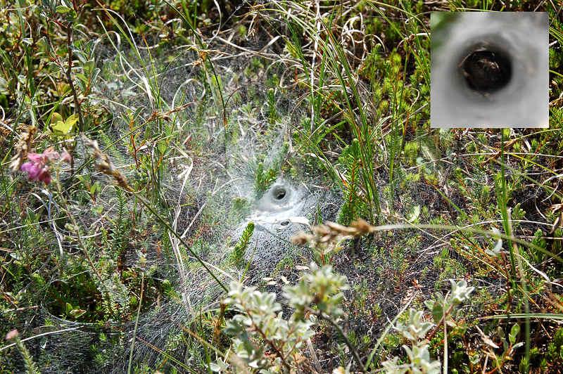 Labyrintedderkop (Agelena labyrinthica)