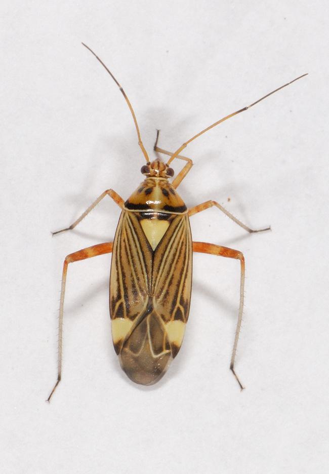 Foto/billede af Rhabdomiris striatellus (Rhabdomiris striatellus)