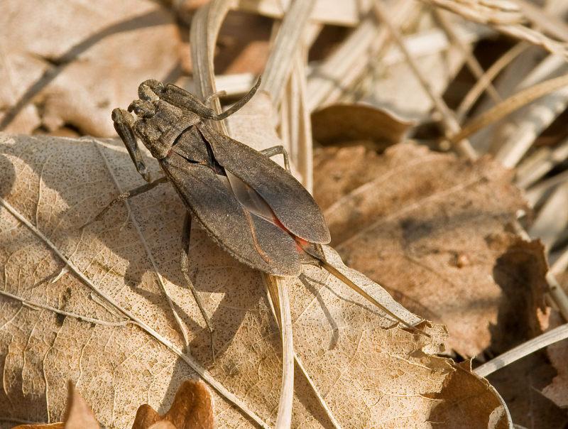Foto/billede af Skorpiontæge (Nepa cinerea)
