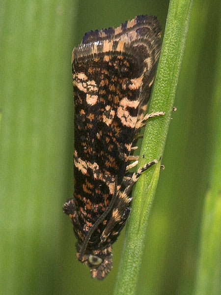 Foto/billede af Padderokvikler (Celypha tiedemanniana)