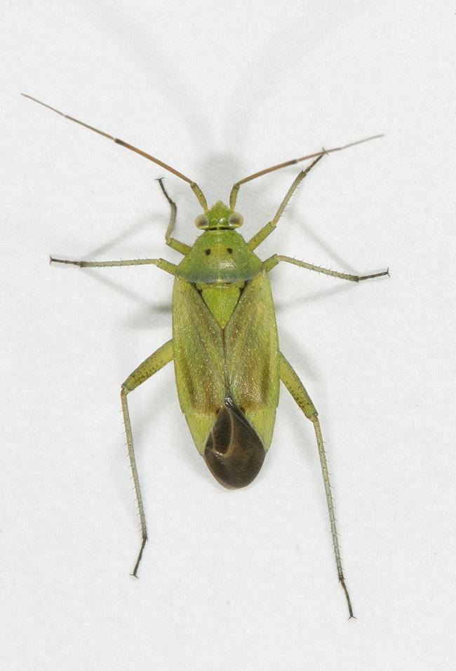 Foto/billede af Toplettet Bederoetæge (Closterotomus norwegicus)