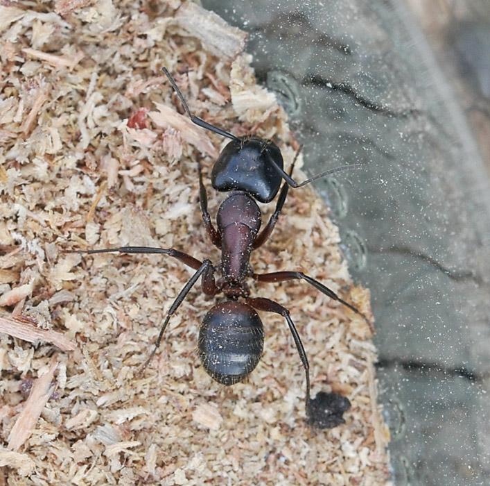 Foto/billede af Kæmpemyre (Camponotus ligniperda)