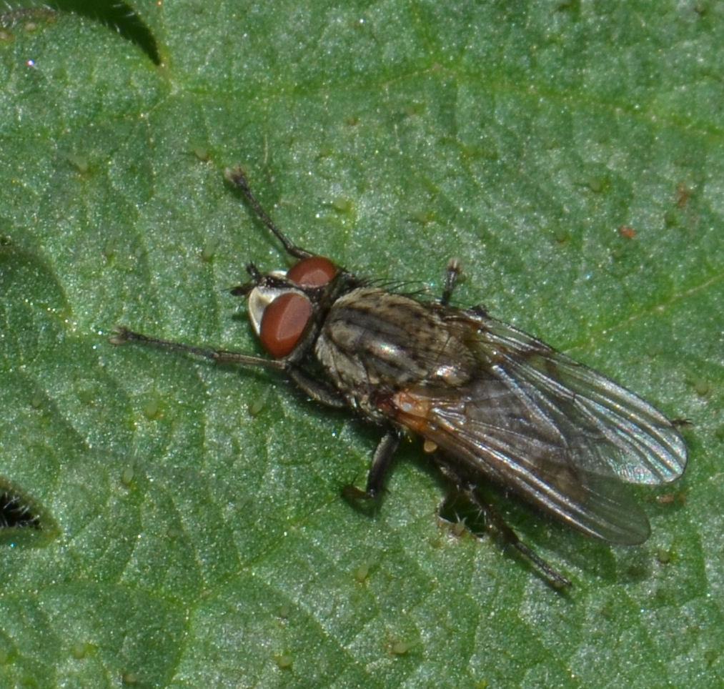 Blomsterflue ubest. (Anthomyiidae indet.)