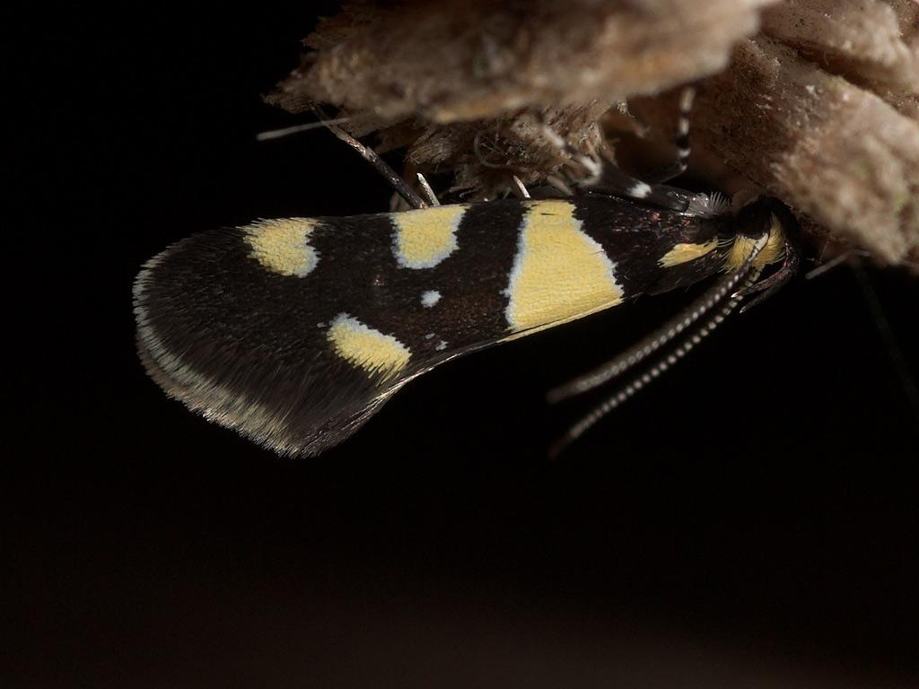 Foto/billede af Eratophyes amasiella (Eratophyes amasiella)