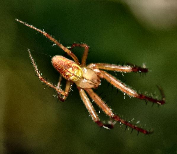 Metellina sp. (Metellina sp.)