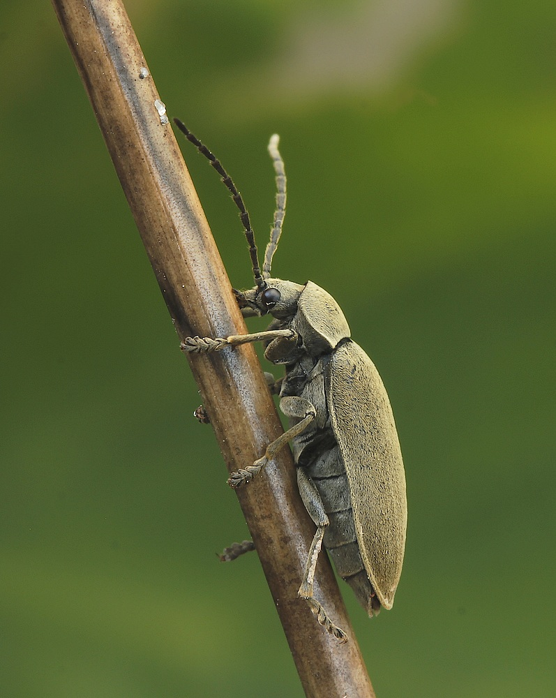 Moseblødbille (Dascillus cervinus)
