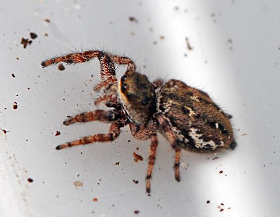 Dendryphantes rudis (Dendryphantes rudis)