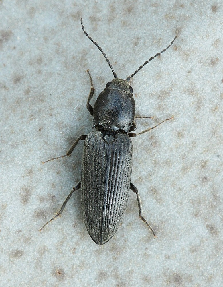 Dicronychus equisetioides (Dicronychus equisetioides)