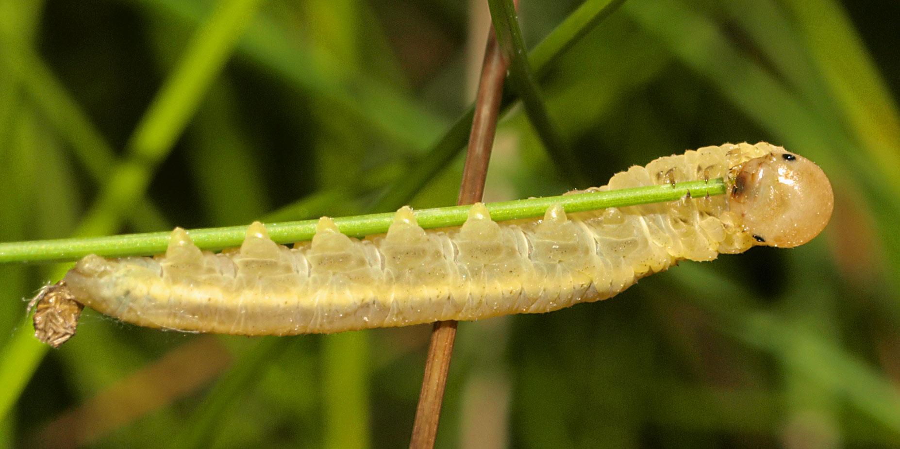 Dolerus niger