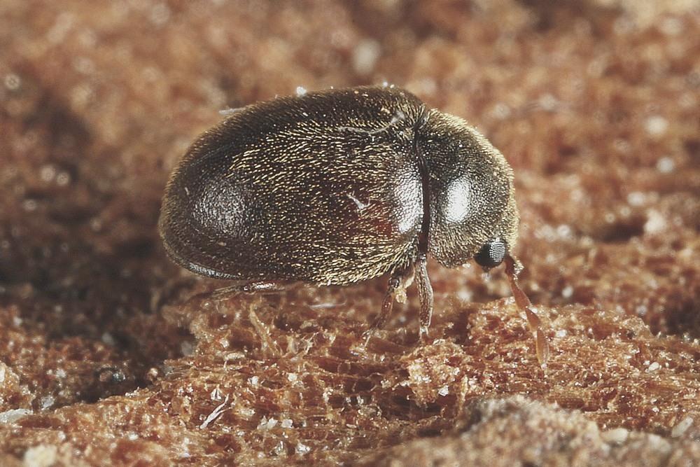 Dorcatoma flavicornis (Dorcatoma flavicornis)