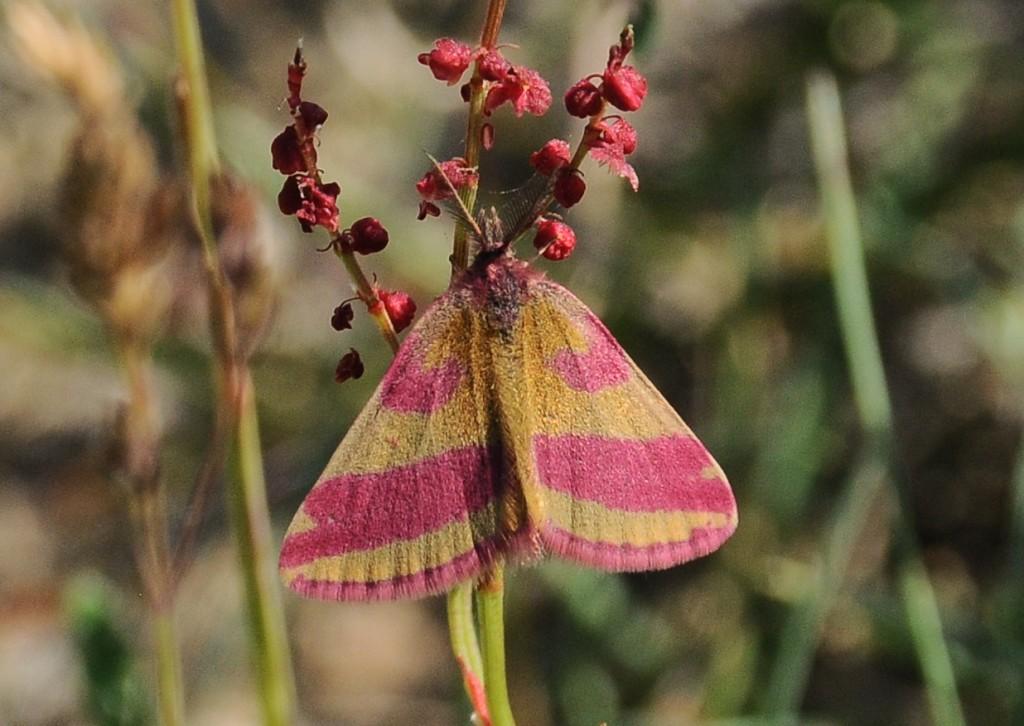 Foto/billede af Purpurmåler (Lythria cruentaria)