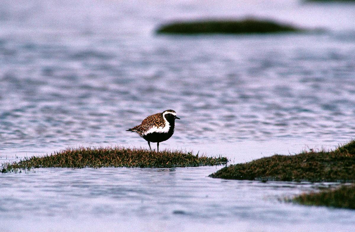 Foto/billede af Hjejle (Pluvialis apricaria)