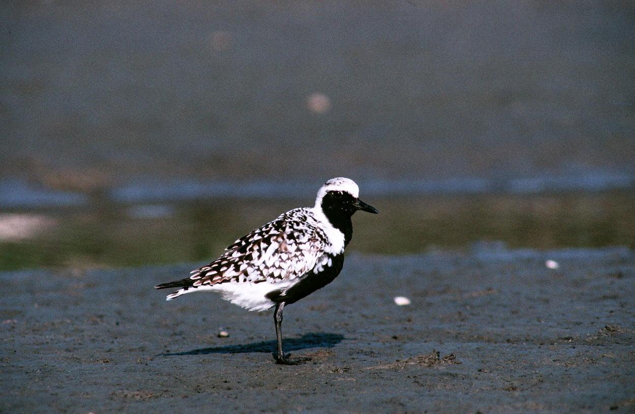 Foto/billede af Strandhjejle (Pluvialis squatarola)