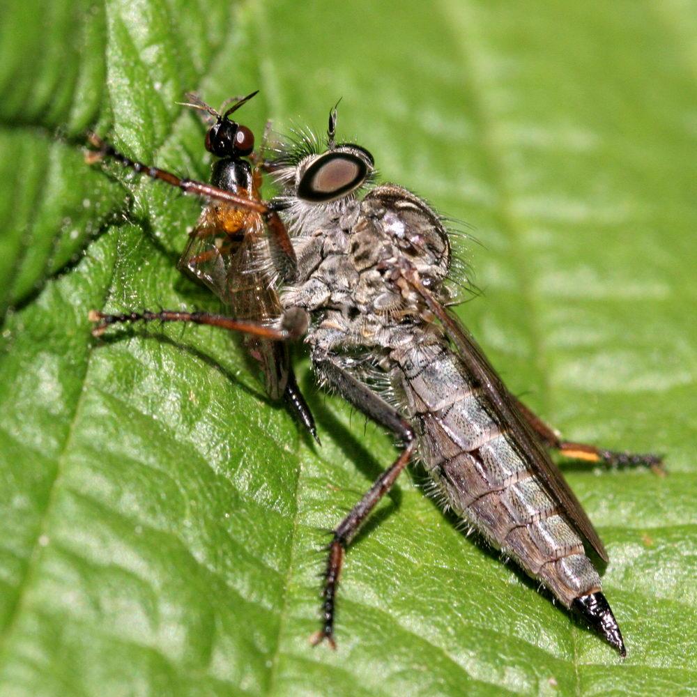 Foto/billede af Sort Hårrovflue (Tolmerus atricapillus)
