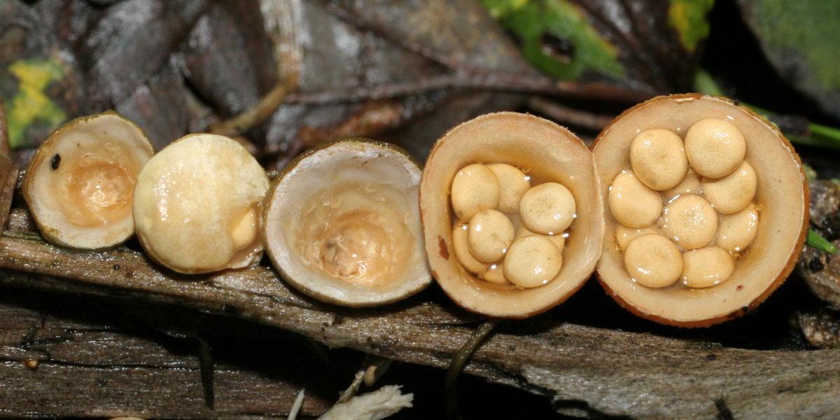 Krukkesvamp (Crucibulum crucibuliforme)