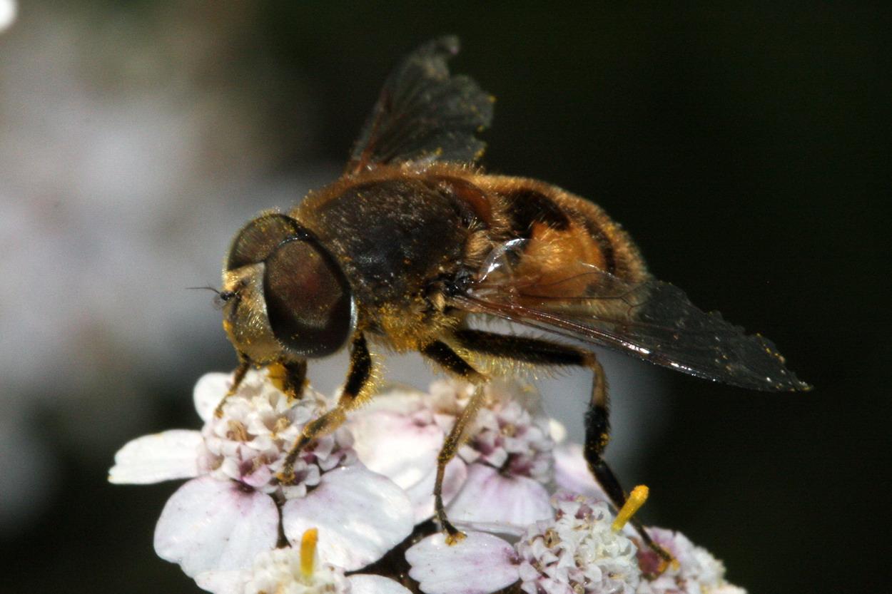Foto/billede af Almindelig dyndflue (Eristalis arbustorum)