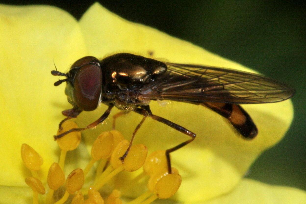 Lang Græssvirreflue (Melanostoma scalare)
