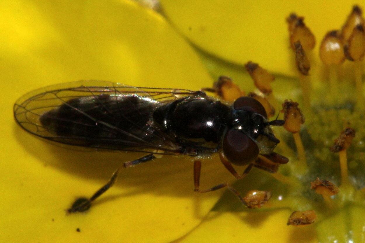 Sortblå Bredfodsflue (Platycheirus albimanus)