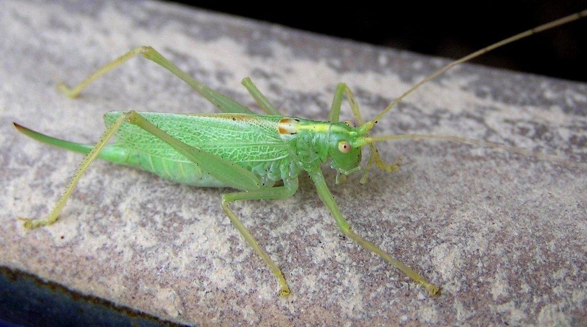 Foto/billede af Egegræshoppe (Meconema thalassinum)