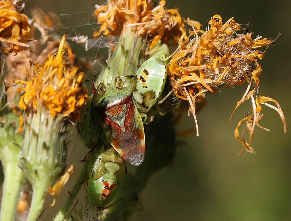 Foto/billede af Almindelig Løvtæge (Elasmostethus interstinctus)