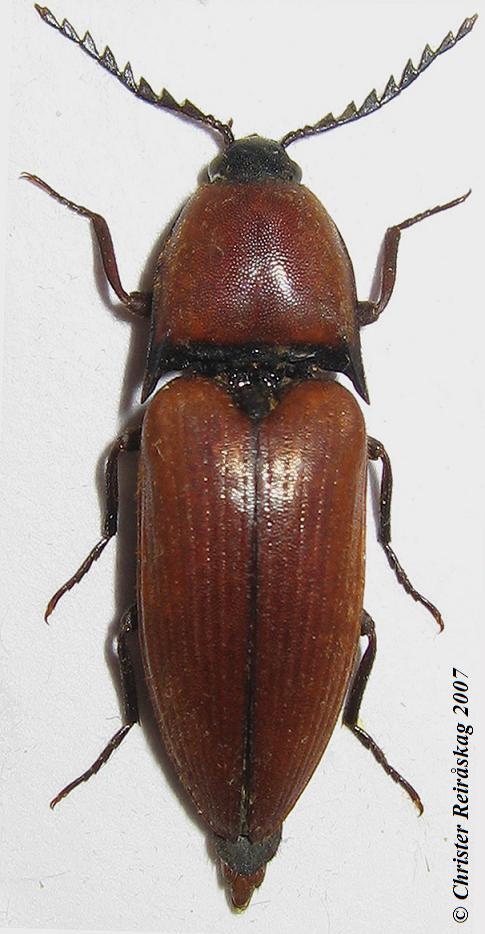 Jættesmælder (Elater ferrugineus)