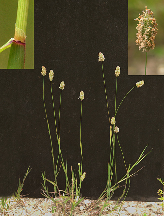 Eng-Rottehale (Phleum pratense ssp. pratense)