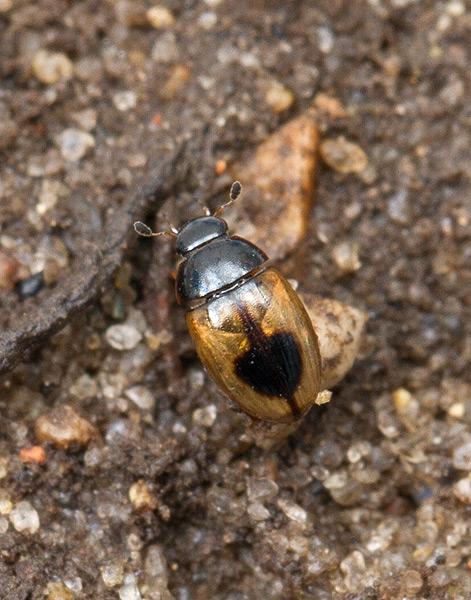 Foto/billede af Enplettet Landkær (Cercyon unipunctatus)