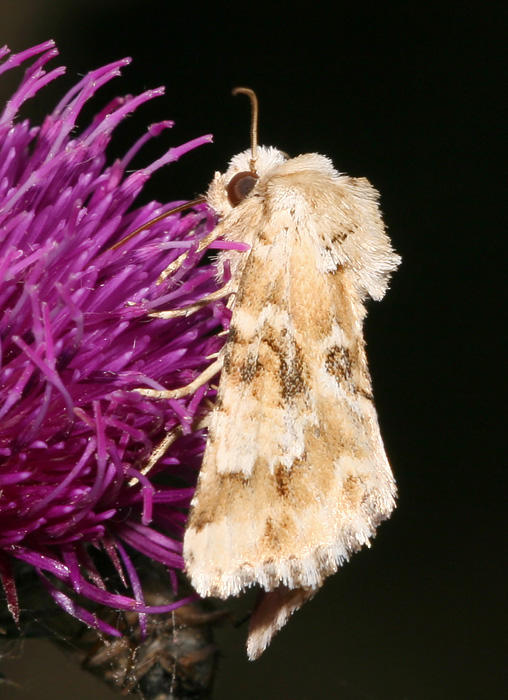 Blomster-Stængelugle