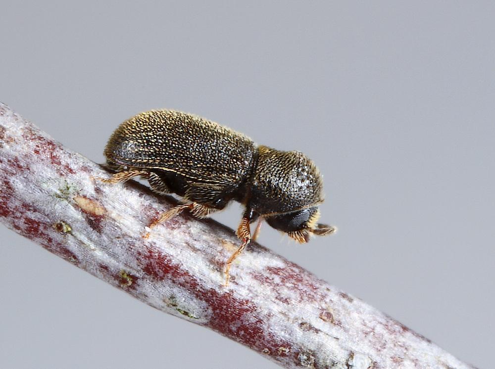 Ernoporicus caucasicus