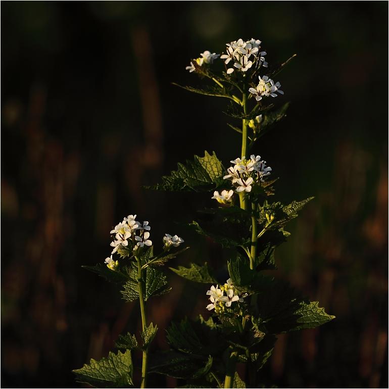 Foto/billede af Løgkarse (Alliaria petiolata)