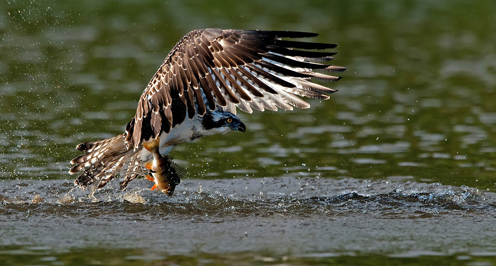 Foto/billede af Fiskeørn (Pandion haliaetus)