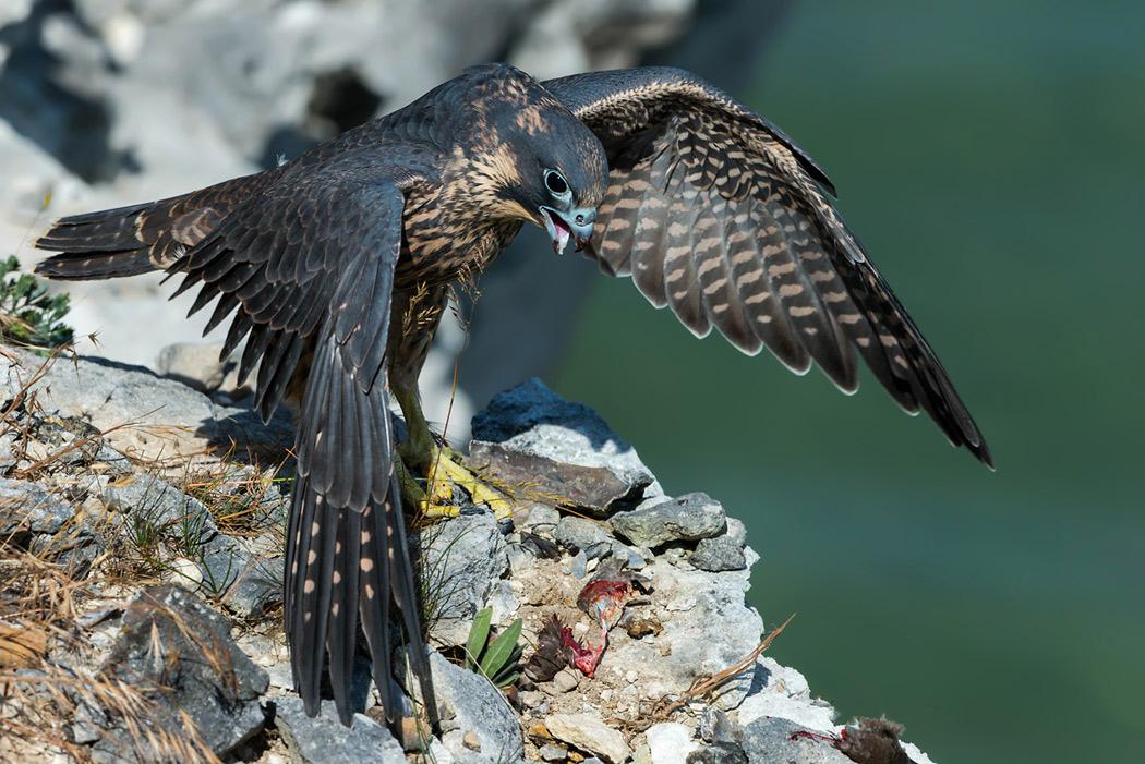 Foto/billede af Vandrefalk (Falco peregrinus)