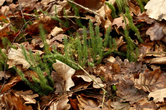 Femradet Ulvefod (Lycopodium annotinum)