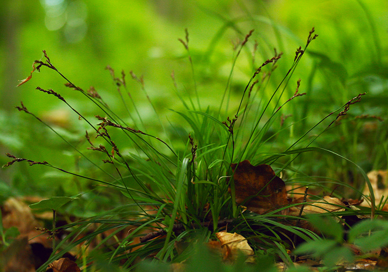Finger-Star (Carex digitata)