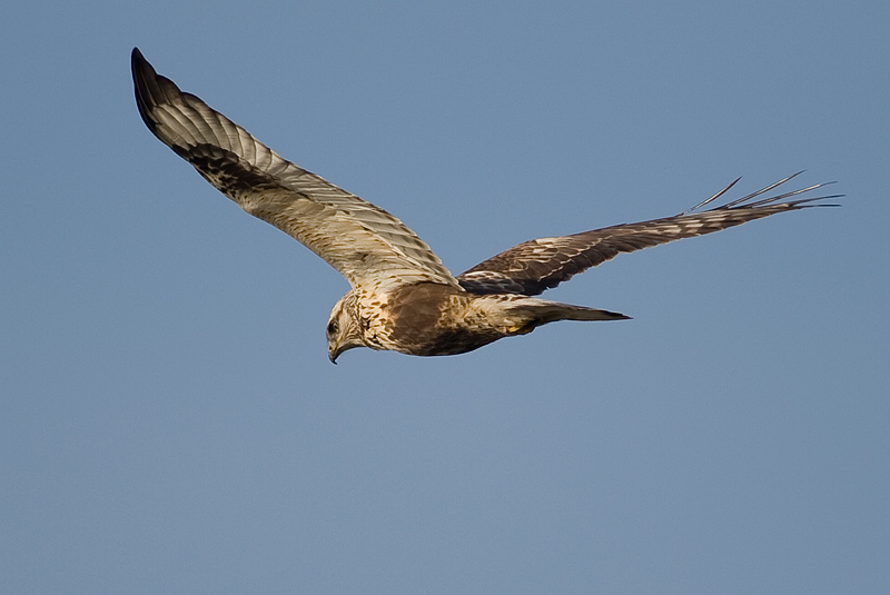 Fjeldvåge (Buteo lagopus)