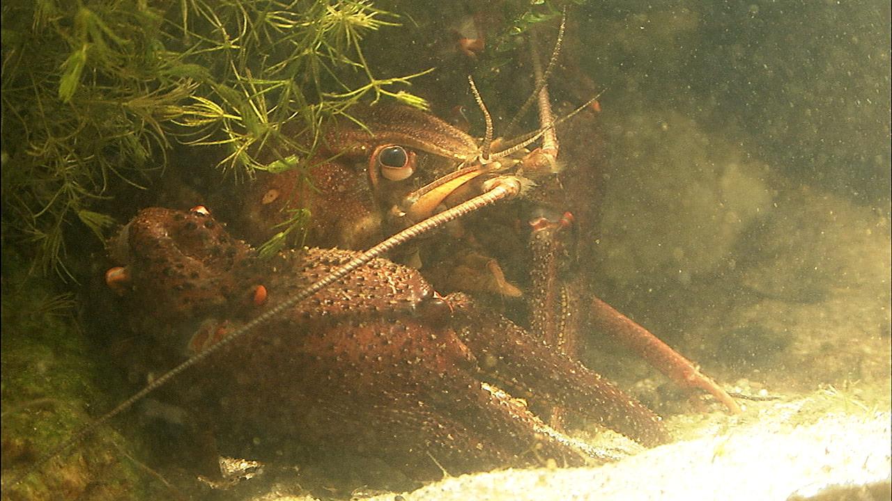 Foto/billede af Flodkrebs (Astacus astacus)