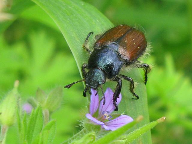 Foto/billede af Gåsebille (Phyllopertha horticola)