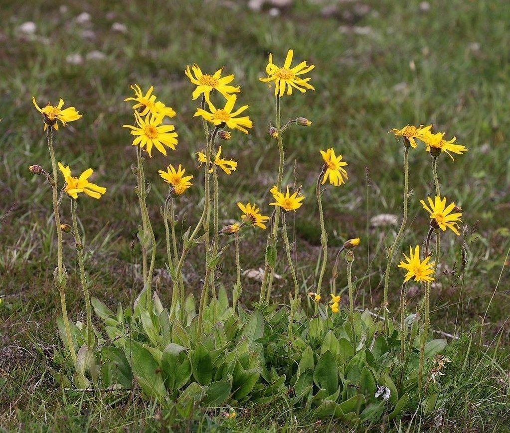 Foto/billede af Guldblomme (Arnica montana)