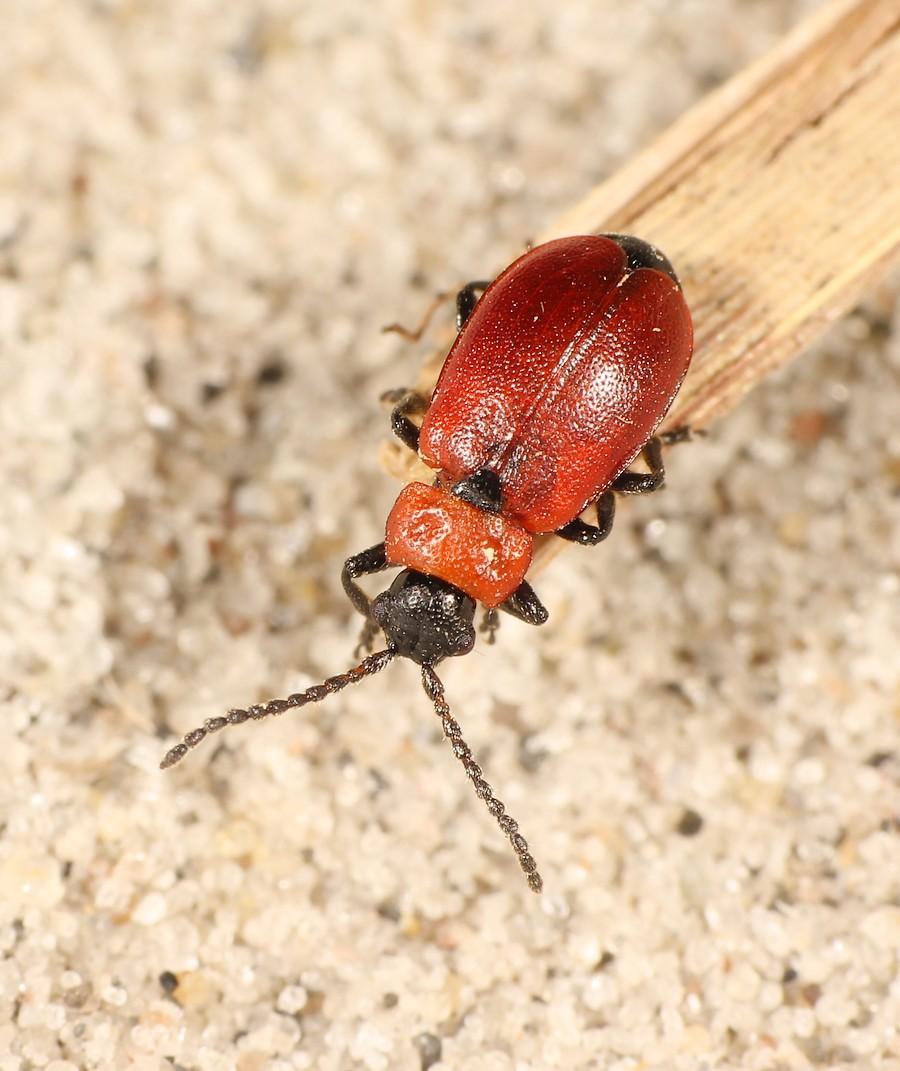Galeruca melanocephala (Galeruca melanocephala)